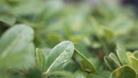 Makro som skjutas av gröna sidor med droppar av daggvatten över stock video