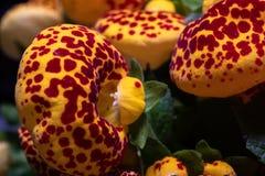 Makro som skjutas av härlig röd och gul calceolaria royaltyfria bilder