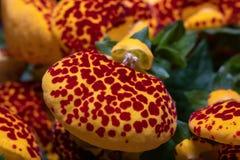 Makro som skjutas av härlig röd och gul calceolaria arkivbild