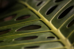 Makro som skjutas av Philodendron Royaltyfri Foto