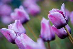 Makro som skjutas av purpurfärgade tulpan som är öppna och blommar i Holland Michigan royaltyfri foto