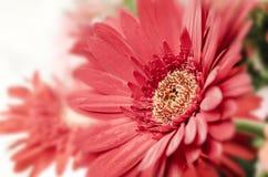 Makro- stokrotka kwiat Zdjęcia Royalty Free