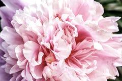 Makro Stor härlig rosa pion för kronblad royaltyfria bilder