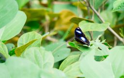 Makro- strzał czarny motyl z zielonym rozmytym liścia tłem obrazy stock