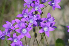 Makro- strzał śródpolni kwiaty, purpurowa kampanula Obraz Royalty Free