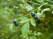 Makro- strzał świeże, dojrzałe czarne jagody na abranch w lesie, Zdjęcie Stock