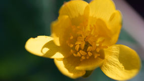 Makro- strzał żółty anemon Obraz Royalty Free