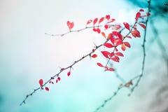 Makro- strzał biały śnieg na górze jaskrawy czerwonych jesień liści, jagod w berberysowym krzaku i zdjęcia stock