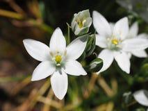 Makro- strzał biały cebulica kwiat z pączkami zdjęcia royalty free