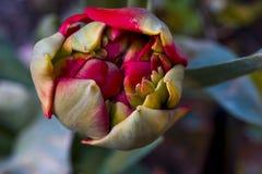 Makro- strzał dalia kwiat zamykający pączek fotografia stock