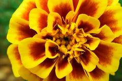 Makro- strzał Dwa brzmień nagietka kwiat Zdjęcie Royalty Free