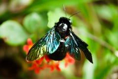 Makro- strzał Fiołkowa cieśla pszczoła na Zielonym liściu w Tropikalnym lesie Zdjęcie Royalty Free