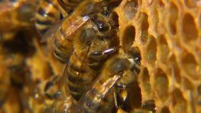 Makro- strzał honeybees na ich honeycomb zbiory wideo