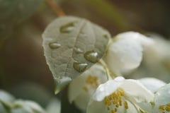Makro- strzał jaśmin kwitnie kwitnąć w pogodnym letnim dniu zdjęcia royalty free