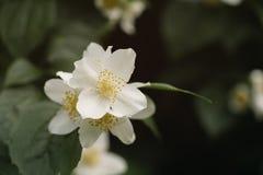 Makro- strzał jaśmin kwitnie kwitnąć w pogodnym letnim dniu fotografia royalty free