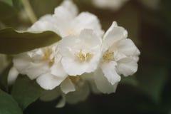 Makro- strzał jaśmin kwitnie kwitnąć w pogodnym letnim dniu zdjęcie royalty free