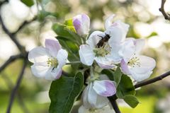 Makro- strzał jabłko kwiaty i pszczoła obraz royalty free