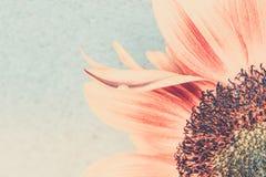 Makro- strzał kwitnący słonecznik fotografia royalty free