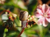 Makro- strzał mały ślimaczek na kwiatów pączkach zdjęcie stock