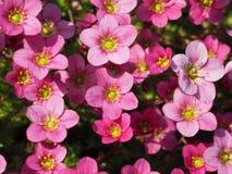 Makro- strzał mali różowi Saxifraga kwiaty zdjęcia stock