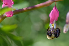 Makro- strzał mamrocze pszczoły na menchia kwiacie Zdjęcia Stock