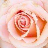 Makro- strzał płatki więdnąca menchii róża Obrazy Royalty Free