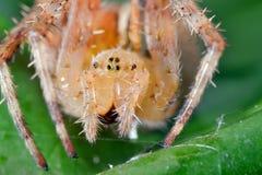 Makro- strzał pająk Zdjęcie Royalty Free