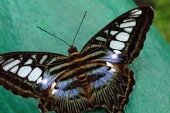 Makro- strzał Piękny motyl na zieleni zamazanym tle Obrazy Stock