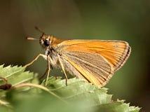 Makro- strzał piękny motyl na zielonym liściu na brown zamazanym tle Zdjęcie Royalty Free