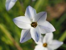 Makro- strzał pojedynczy biały Chionodoxa kwiat zdjęcia royalty free