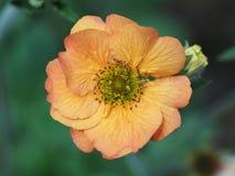 Makro- strzał pojedynczy pomarańczowy Geum kwiat obraz royalty free