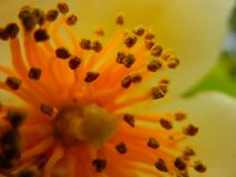 Makro- strza? Pollen i Stamen Schima sp zdjęcia royalty free