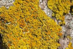 Makro- strzał pospolity pomarańczowy liszaj (złotorosta parietina) Fotografia Stock