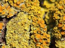 Makro- strzał pospolity pomarańczowy liszaj (złotorosta parietina) Obraz Stock