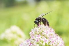 Makro- strzał pszczoła z białymi kwiatami z czerwonawymi kropkami fotografia royalty free