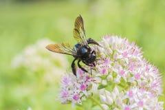 Makro- strzał pszczoła z białymi kwiatami z czerwonawymi kropkami zdjęcie royalty free