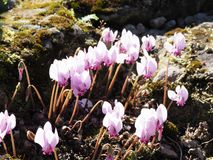 Makro- strzał różowi cyklameny kwitnie w rockery zdjęcia stock