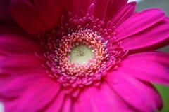 Makro- strzał różowy Gerbera zdjęcia stock