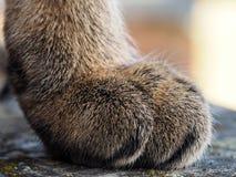 Makro- strzał sawanna kota łapa obrazy royalty free
