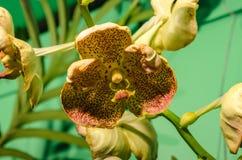 Makro- strzał storczykowy kwiatu sedno Kędzierzawe, dzikie orchidee Filipiny, zdjęcia royalty free
