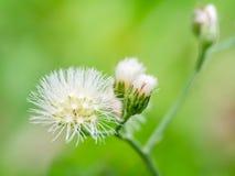 Makro- strzał trawa kwiat Obrazy Royalty Free