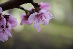 Makro- strzał kwitnienie w wiosna kwiatach brzoskwini drzewo Zdjęcia Royalty Free