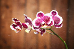 Makro- strzał lila orchidea z wodnymi kropelkami i kroplami na drewnianym brown tle Zdjęcie Royalty Free
