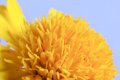 Makro- strzał nagietka kwiat Obrazy Stock