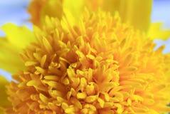 Makro- strzał nagietka kwiat Zdjęcie Royalty Free