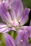 Makro- strzał purpurowi kwiaty Zdjęcie Royalty Free