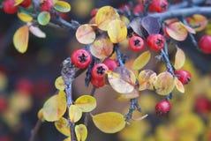 Makro- strzału czerwoni dzicy cranberries Zdjęcia Royalty Free