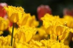 Makro- strzelanina Tulipa Zdjęcie Royalty Free