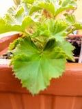 Makro- szczegół naturalna roślina z liśćmi w zielonym kolorze obrazy royalty free