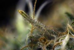 Makro- szczegół marihuana pączek & x28; Rosyjski Czarny marihuany strain& x29; wi Fotografia Royalty Free